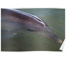 Dolphin - Monkey Mia - WA Poster