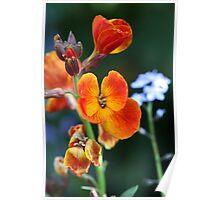 Orange Wallflower Poster