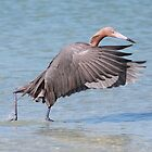 Reddish Egret Saltwater Dance by cesstrelle
