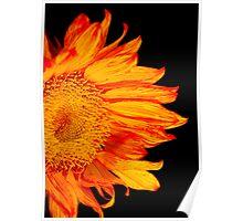 Fiery Orange Sunflower Poster