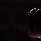 black tulip by imagegrabber