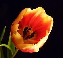 Tulip by lisa1970