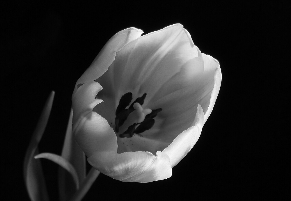 Subdued Tulip by Lisa Kent