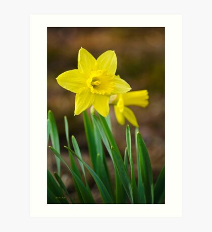 Beautiful Daffodils Art Print