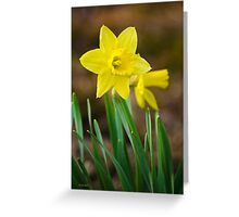 Beautiful Daffodils Greeting Card