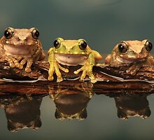 Peacock Tree Frogs by Photokes