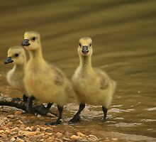 A gosling gathering by miradorpictures