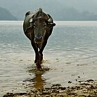 Water Buffalo by Valerie Rosen