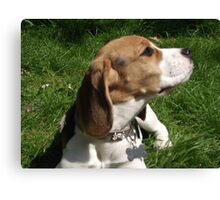 Beautiful Beagle - aged 5 months. Canvas Print