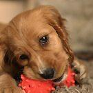 Golden Cocker Spaniel Puppy by Franco De Luca Calce