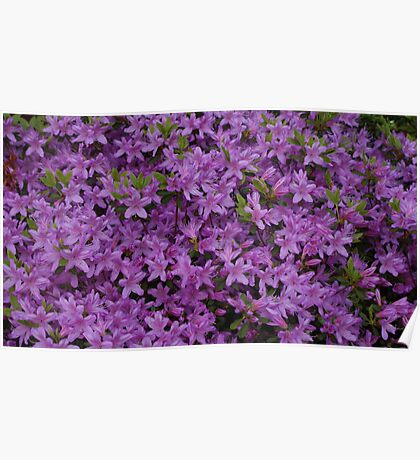New England azalea in bloom Poster