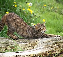 Scottish Wildcat by Christopher Lloyd