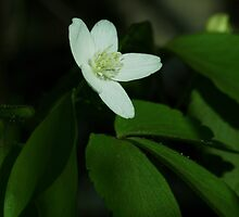 Wood Anemone by Sian Houle