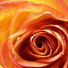 Columbian Rose Macro by Dannel Sargent