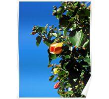 Cottonwood Hibiscus Poster