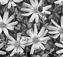 Bloom in Shades of Gray by Kim Barton