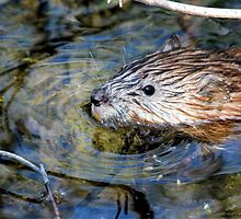 Muskrat by Larry Trupp