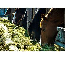 Horses Feeding Photographic Print