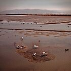 American Avocets, little striped birs's by happyphotos