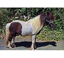 really cute little Shetland pony Photographic Print