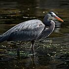 Blue Heron: A Simple Portrait by toby snelgrove  IPA