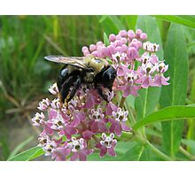 Sated on Purple Butterfly Weed Photographic Print
