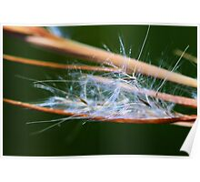Andropogon virginicus Poster