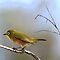 YELLOW (Only) BIRDS OF AFRICA | (Net) GEEL VOËLS VAN AFRIKA