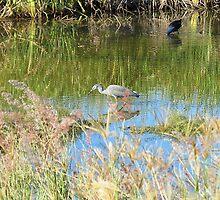 Grey Egret Fishing - Bundaberg - Australia by Anthony Wilson