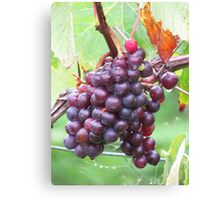 Grape Vine Canvas Print