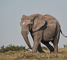 African Elephant – Loxodonta african on a Mission by Warren. A. Williams