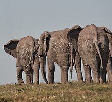 African Elephant – Loxodonta African Heading Home by Warren. A. Williams