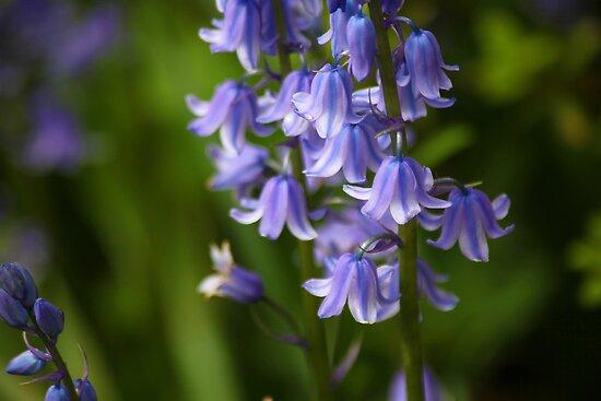 Bluebells by John Dalkin