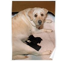 Labrador Foster Mother with Poodle Pups Poster
