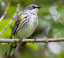 Yellow Rumped Warbler in the wind by Janika