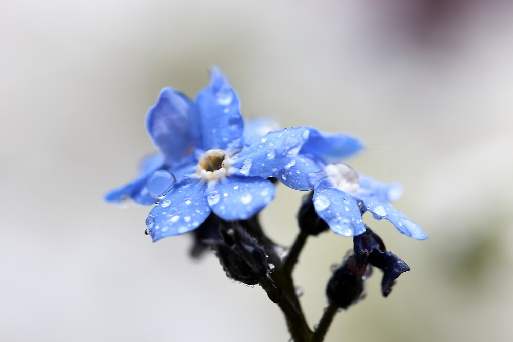 Forget-me-not by PhotoTamara