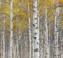 Birch Trees with a touch of yellow color by Randall Nyhof