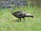 Wild Turkey Hen by BettyEDuncan