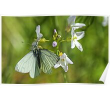 A White Butterfly Poster