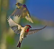 More House Finch Fiasco by SB  Sullivan