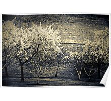 Peach Trees In Bloom Poster