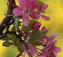 -Apple Blossoms (Forsythia Background) by T.J. Martin