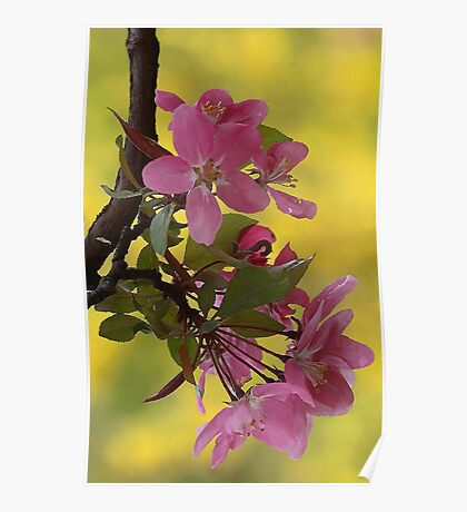 -Apple Blossoms (Forsythia Background) Poster