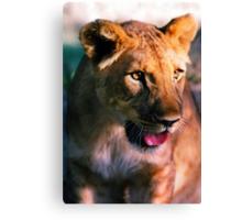 Panting Lion Canvas Print