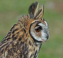 Mexican Striped Owl by Mark Hughes
