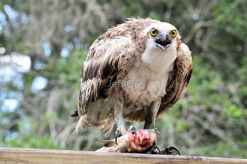 Osprey Eating a Fish by Jeff Ore