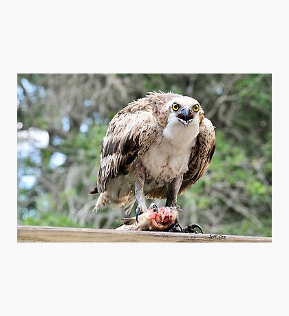 Osprey Eating a Fish Photographic Print