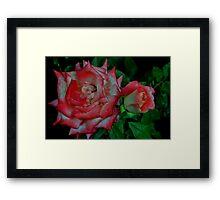 Red and White Roses Framed Print