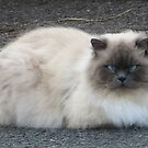 Fluffy blue eyed cat by James1980