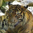 Beautiful Tiger (view me large please) by waxyfrog